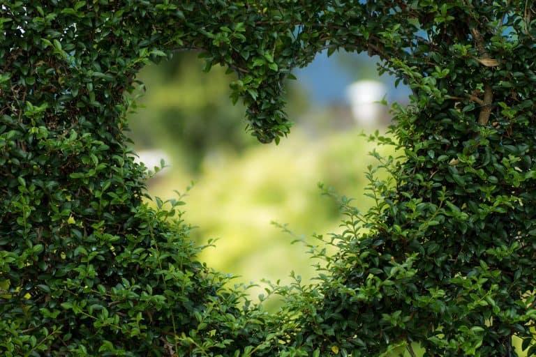 מסך של עלי מורינגה עם חור בצורת לב באמצע ורקע מטושטש של יער מאחוריו
