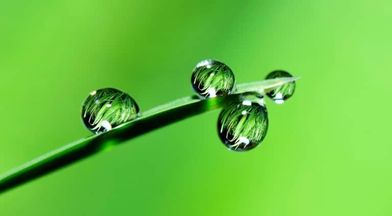 עלה מורינגה עם ארבע טיפות גשם נחות עליו בתמונת תקריב באיכות גבוהה