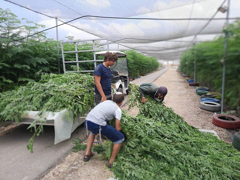 ילדים עוזרים לעובד להרים ענפי מורינגה במשק של יערות מורינגה