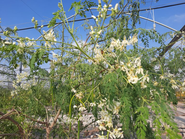 עץ מורינגה שופע בתרמילים ופריחה
